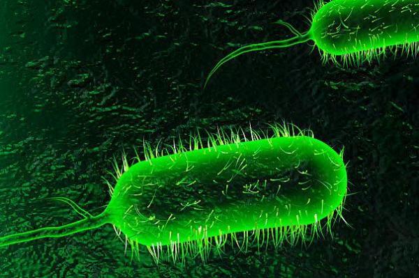 تولید پروبیوتیک های موثر بر طیور گوشتی میکروارگانیسم های بومی