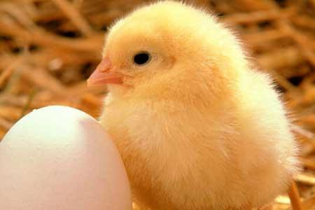 قیمت تخم مرغ همچنان زیر نرخ مصوب است